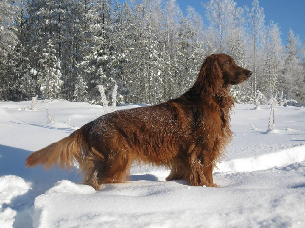 Dogs In Winter Snow